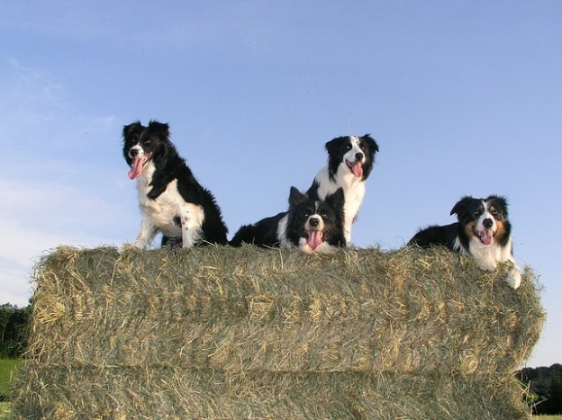 border-collie-
